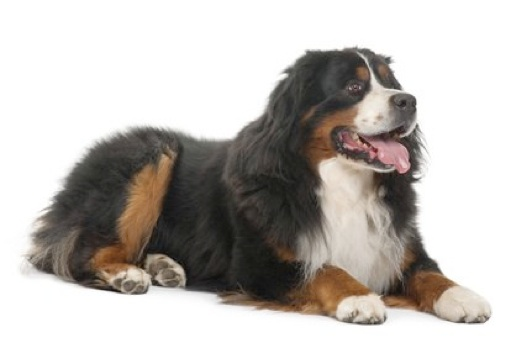 The Bernese Mountain Dog Called In German Berner Sennenhund Is A Large Breed Of One Four Breeds Type Dogs From Swiss
