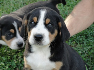 Greater Swiss Mountain Dog Barton Manor Swissys